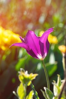 Tulipano viola che cresce nel giardino
