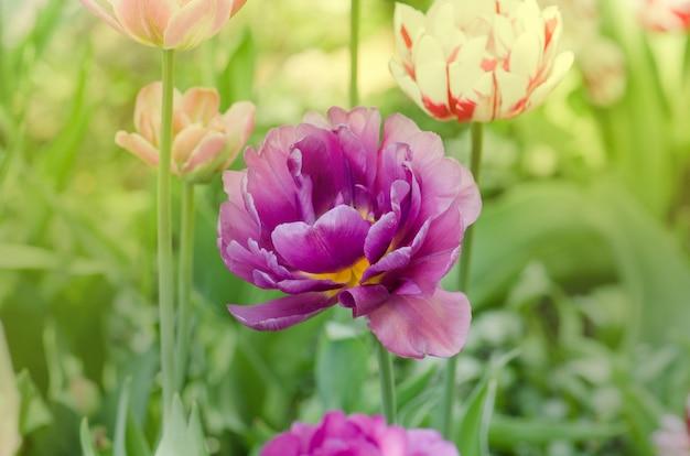 Tulipano viola doppio colorato bello. tulipano viola come peonia