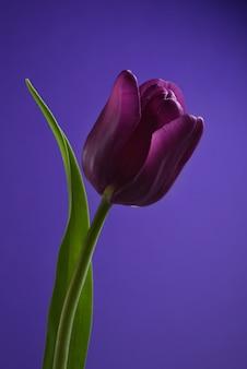 Tulipano viola scuro su un gambo verde intenso con una foglia isolata su un fondo porpora
