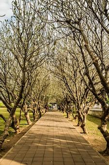Tunnel degli alberi di plumeria alla provincia di nan, tailandia