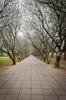 Tunnel di plumeria tree o frangipani secco con cammino