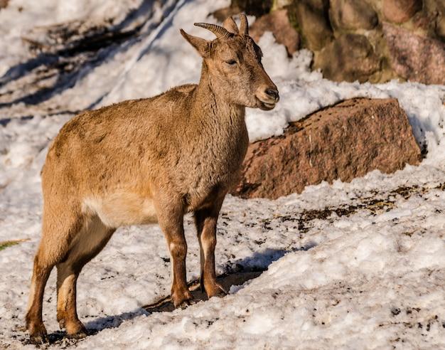 Tur del caucaso orientale (capra caucasica cylindricornis)