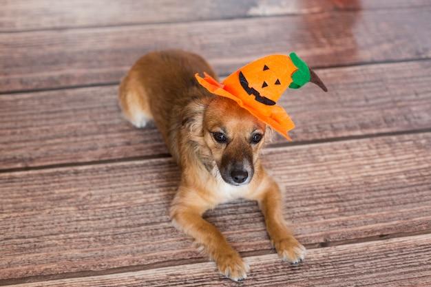 Ubicazione sveglia del piccolo cane sul pavimento di legno con una zucca del costume. concetto di halloween. ambientazione interna.