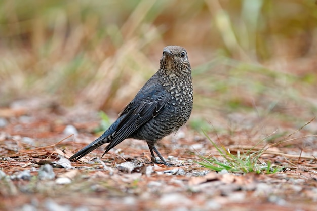 Uccelli di monticola del rockthrush castagna-gonfiati della tailandia