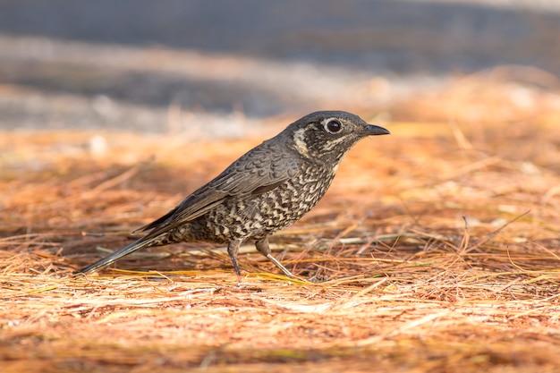 Uccelli in natura, roccia-mughetto dalla pancia castagna (monticola rufiventris)