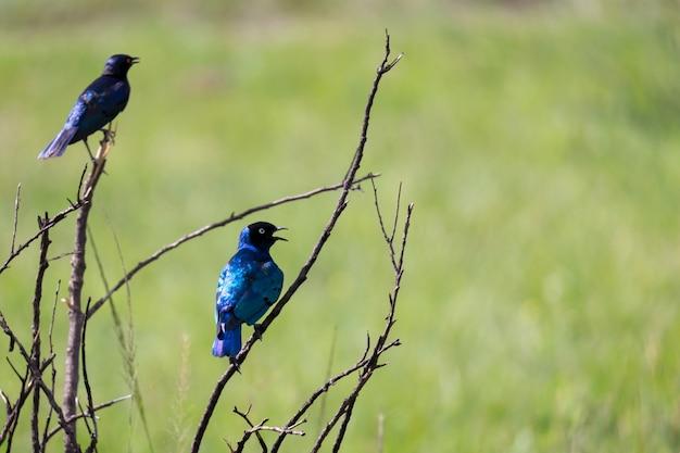 Uccelli kenioti locali in colori colorati siedono sui rami di un albero