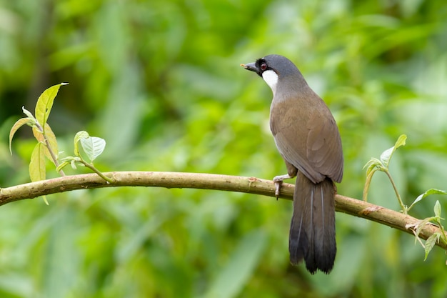 Uccelli, laughingthrush dalla gola nera (garrulax chinensis)