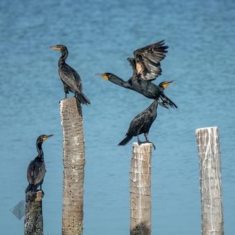 Uccelli neri in piedi su boschi tagliati messi in acqua durante il giorno