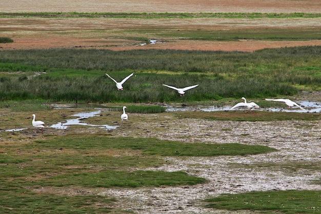 Uccelli sul lago argentino a el calafate, patagonia, argentina