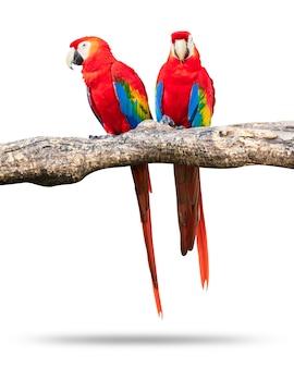 Uccelli variopinti dei pappagalli isolati su fondo bianco. ara rossa e blu sui rami.