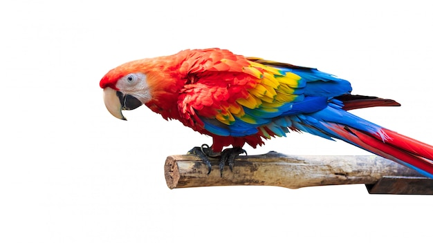 Uccelli variopinti dei pappagalli isolati su fondo bianco. marcaw rosso e blu sui rami.