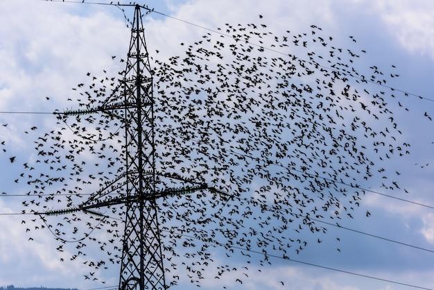 Uccelli volanti squadra di storni volanti e torre elettrica ad alta tensione.