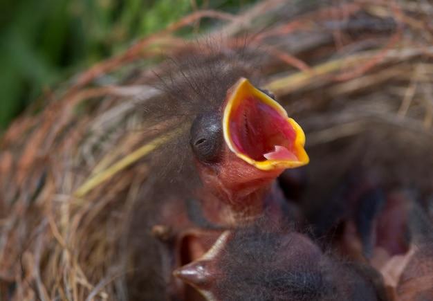 Uccellino orfano che urla con la bocca aperta