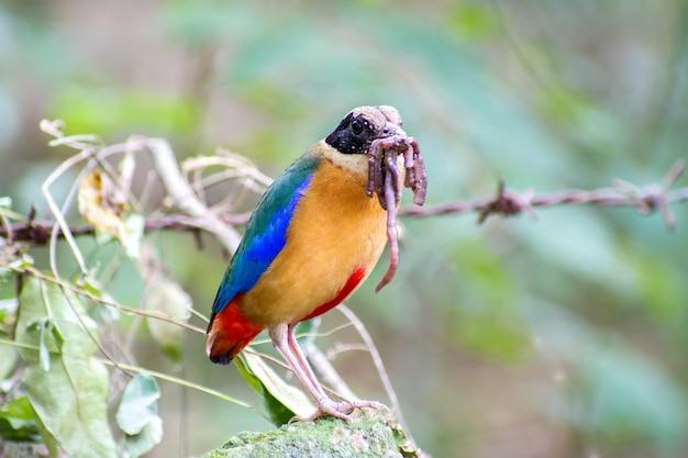 Uccello alato blu di pitta che mangia i lombrichi nella foresta