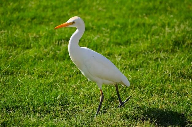 Uccello bianco dell'egitto su un prato verde