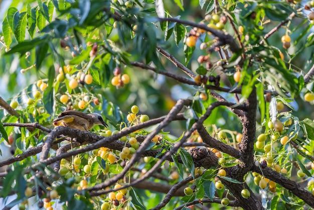 Uccello (bulbul giallo-scaricato) sull'albero in natura selvaggia