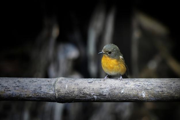 Uccello carino sul bambù e sfondo scuro.