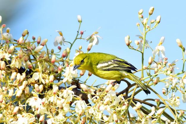 Uccello comune di iora su un ramo di albero