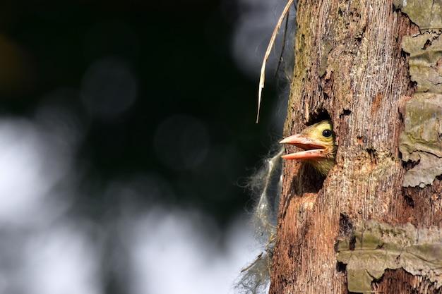 Uccello del barbet al forno al nido