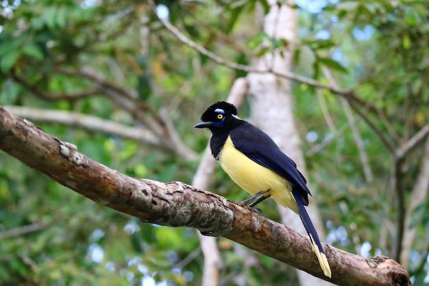 Uccello del chrysops di cyanocorax o di jay della peluche-crestato nel parco nazionale di cascate di iguazu, argentina