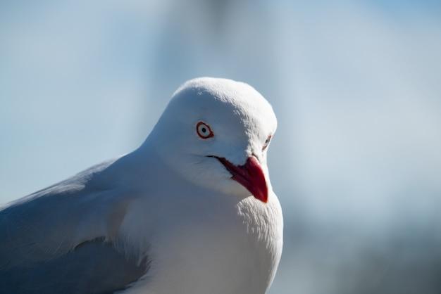Uccello del gabbiano australiano selvaggio