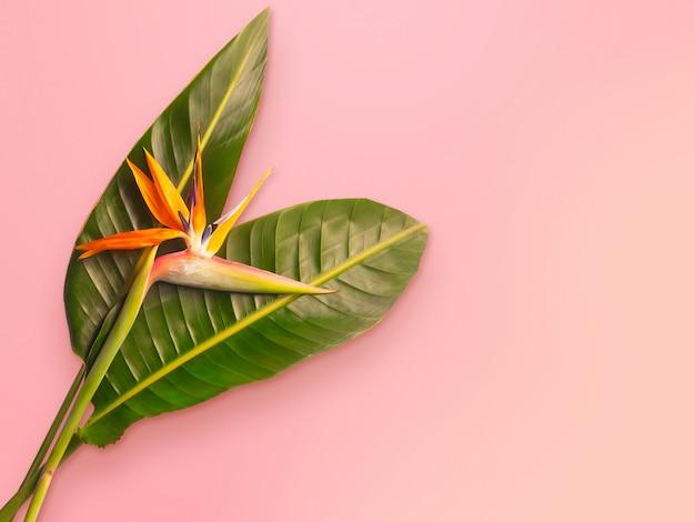 Uccello del paradiso fiore strelitzia reginae su sfondo rosa alla moda