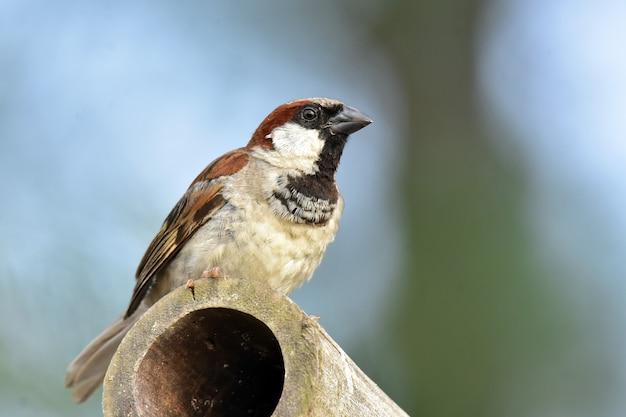 Uccello del passero del vecchio mondo sul bambù