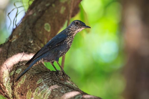 Uccello del passero solitario (monticola solitarius)