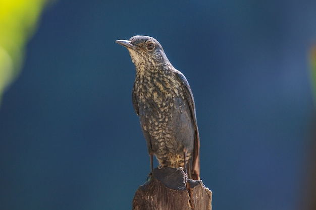 Uccello del tordo della roccia blu (solitarius di monticola) che sta in natura