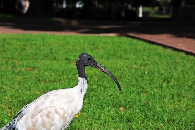 Uccello dell'ibis in hyde-park di sydney, in australia