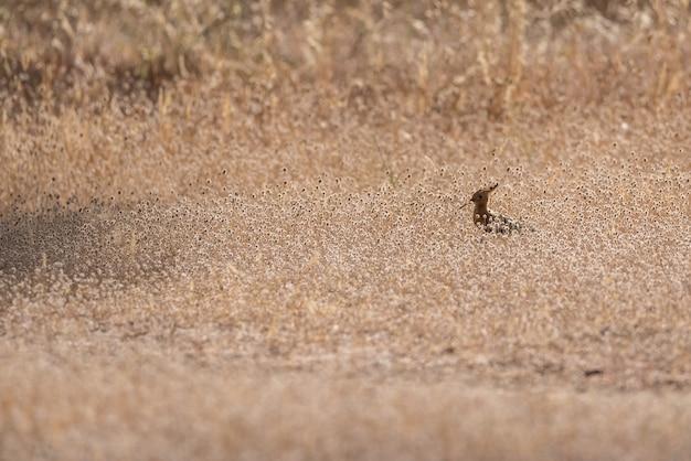 Uccello dell'upupa sull'erba asciutta