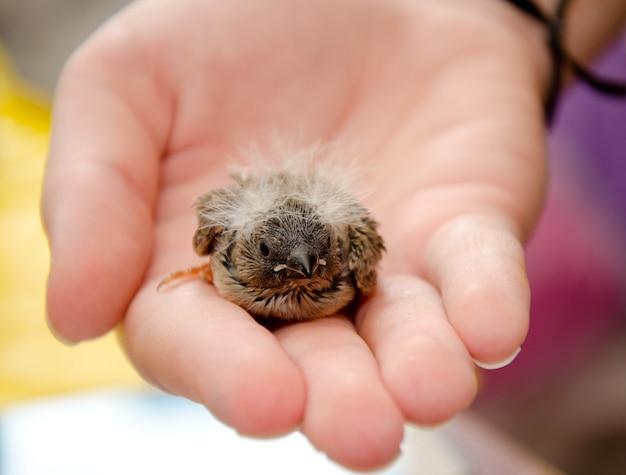 Uccello di bambino sveglio (fringillide di zebra) su una mano umana, dof basso con il fuoco selettivo sulla testa dell'uccello di bambino