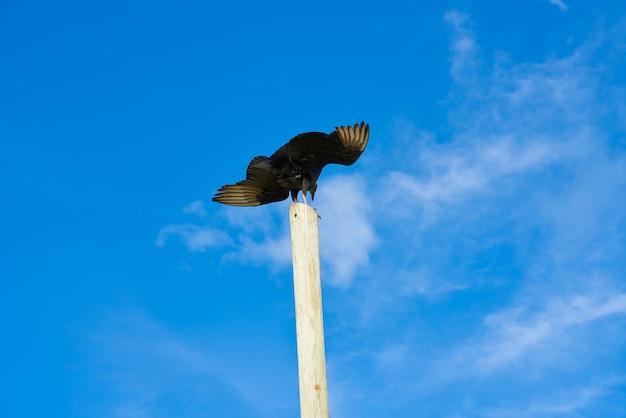 Uccello di poiana zopilote san martin a cozumel