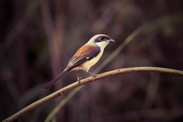 Uccello di shrike sostenuto da baia / vittatus di lanius, nuovo uccello record della tailandia