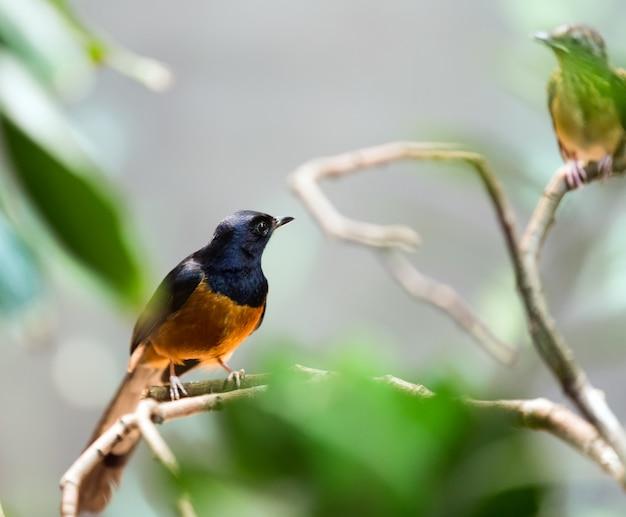 Uccello esotico - shama bianco-scorticato