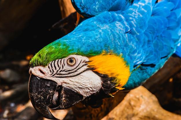 Uccello giallo blu dell'ara sveglia