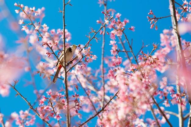 Uccello giallo sul ramo di fiori di ciliegio rosa