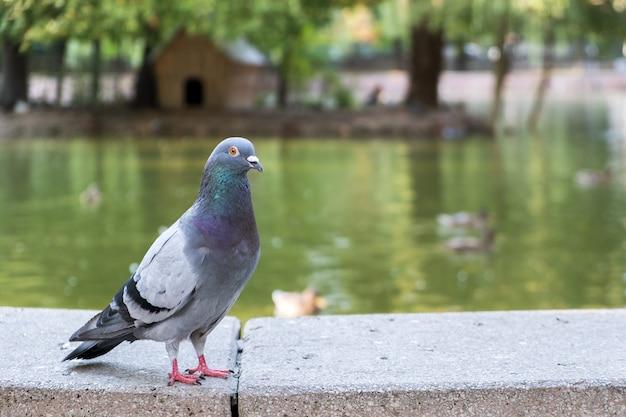 Uccello grigio colomba all'aperto in un parco cittadino.