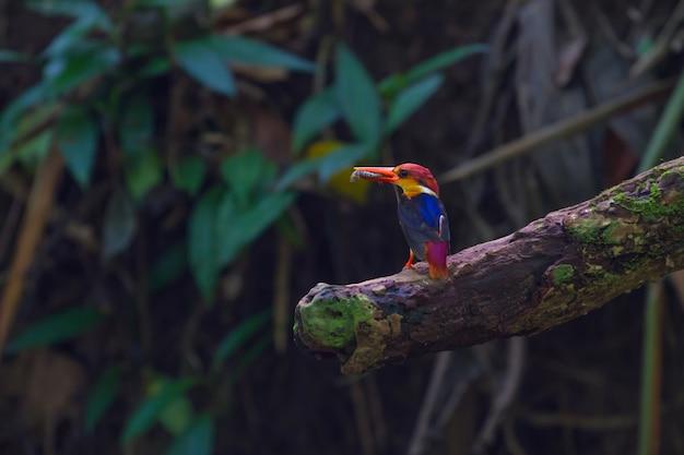 Uccello in natura, martin pescatore dal dorso nero (dwaft orientale) sul ramo in natura