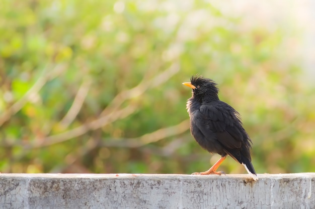 Uccello in natura, myna a ventaglio bianco (acridortheres javanicus)