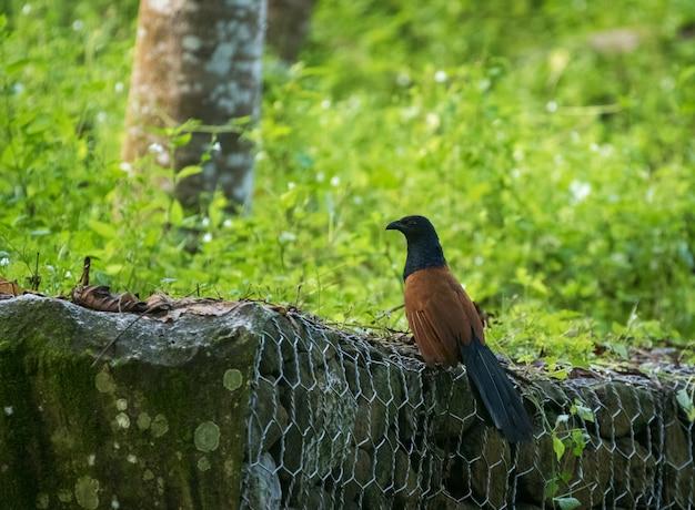 Uccello maggiore coucale o fagiano corvo - centropus sinensis - a sepilok, sabah, borneo in malesia