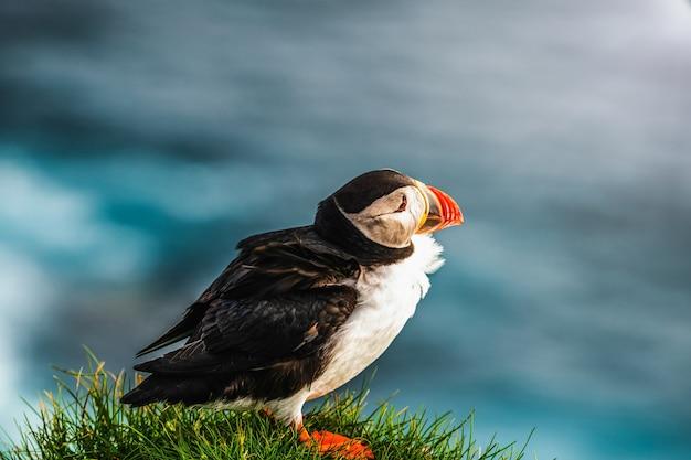 Uccello marino selvaggio del puffino atlantico nella famiglia di auk.