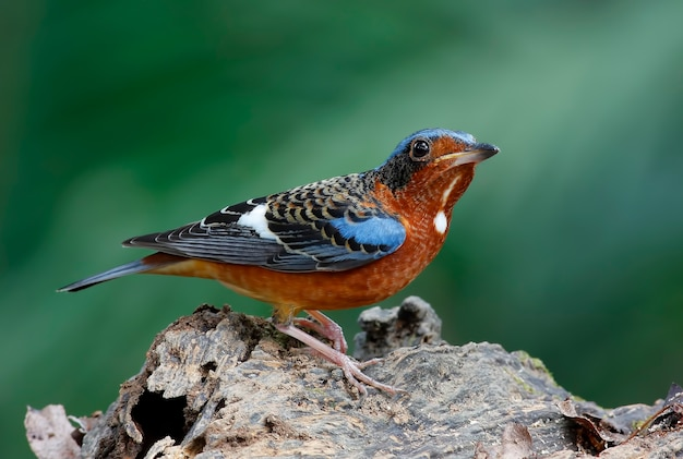 Uccello maschio di monticola gularis di thrush dalla gola bianca bello maschio della tailandia