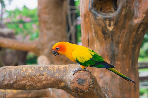 Uccello pappagallo giallo, conuro del sole.