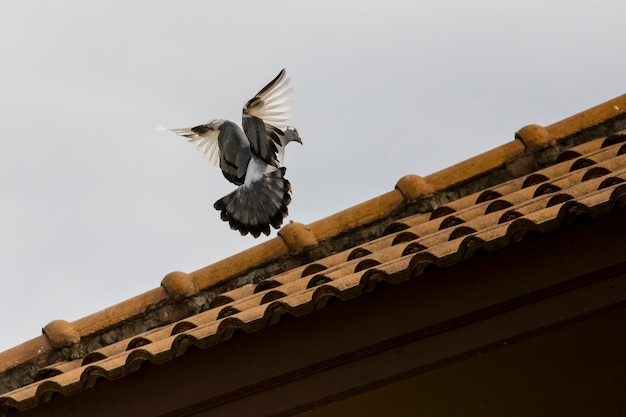 Uccello piccione si avvicina per appollaiarsi sul tetto di casa