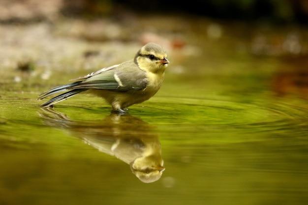 Uccello sveglio del pettirosso europeo che riflette su un lago durante il giorno