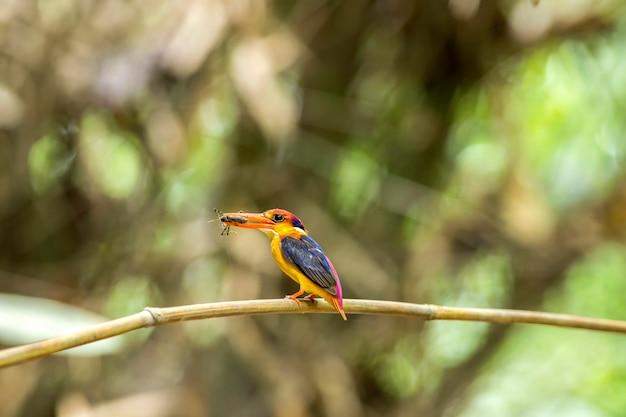 Uccello, uccelli colorati, martin pescatore col dorso nero (martin pescatore nano orientale) o martin pescatore tridattilo