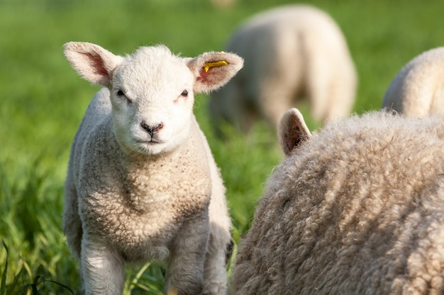 Un agnello carino mi guarda