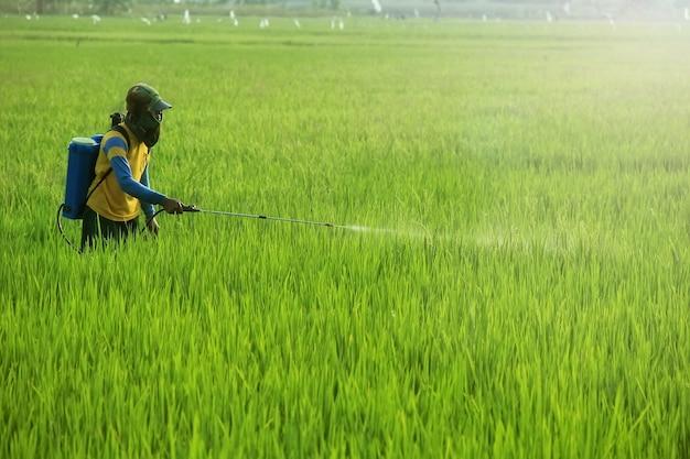 Un agricoltore sta spruzzando il suo raccolto di riso con un pesticida liquido per respingere i parassiti
