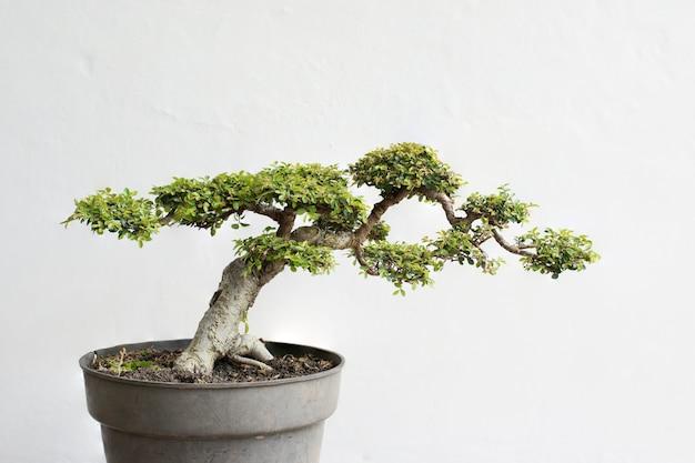 Un altro bonsai di olmo cinese